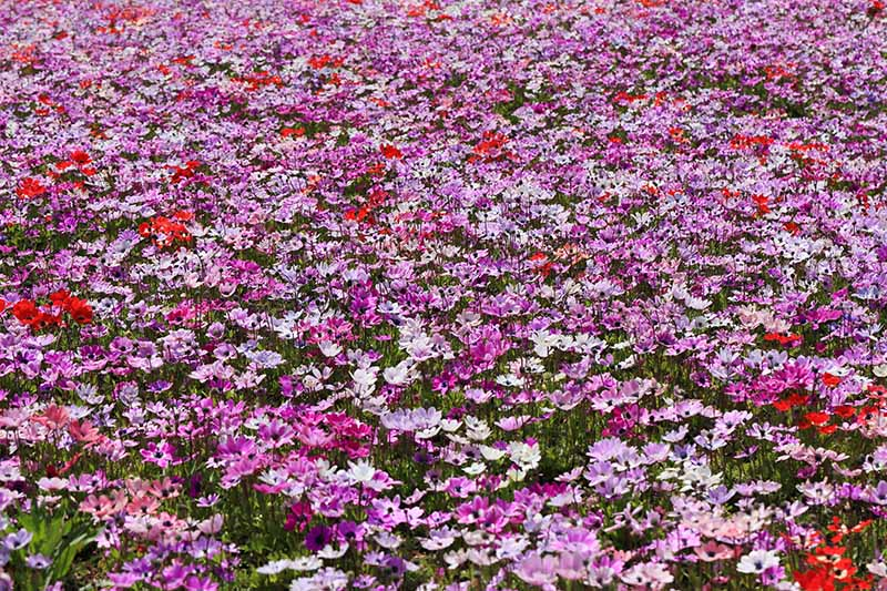 A close up horizontal image of different colored anemone flowers in a mass planting in a meadow, pictured in bright sunshine.