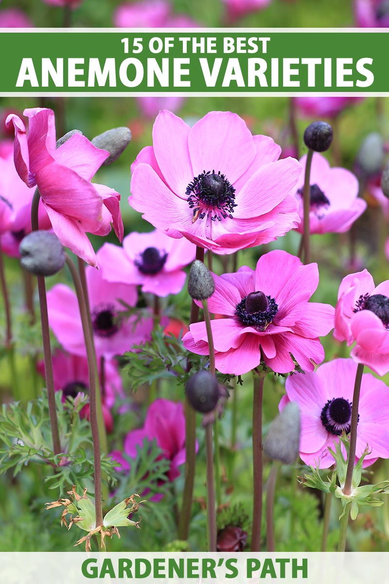 A close up vertical image of bright pink anemone flowers with dark centers growing in the garden. To the top and bottom of the frame is green and white printed text.