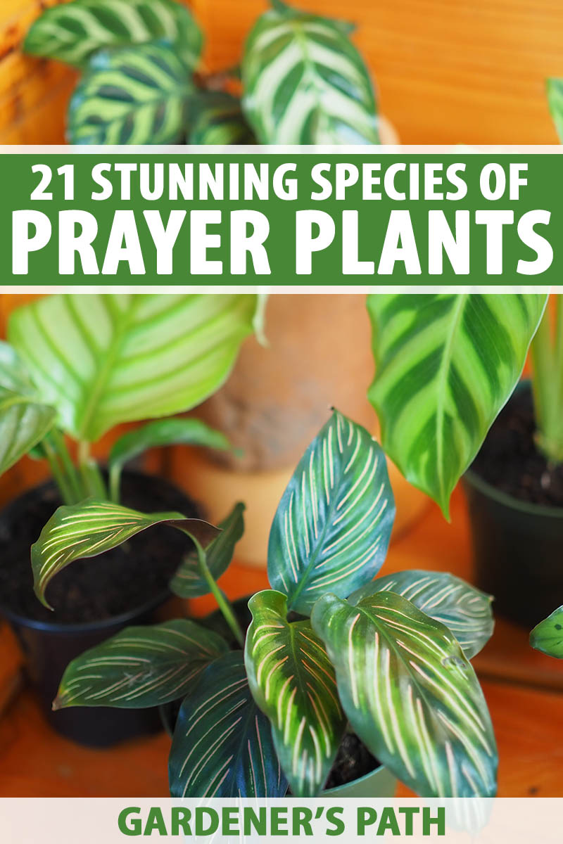 A vertical image of different type of prayer plants growing in pots indoors pictured on a soft focus background. To the top and bottom of the frame is green and white printed text.