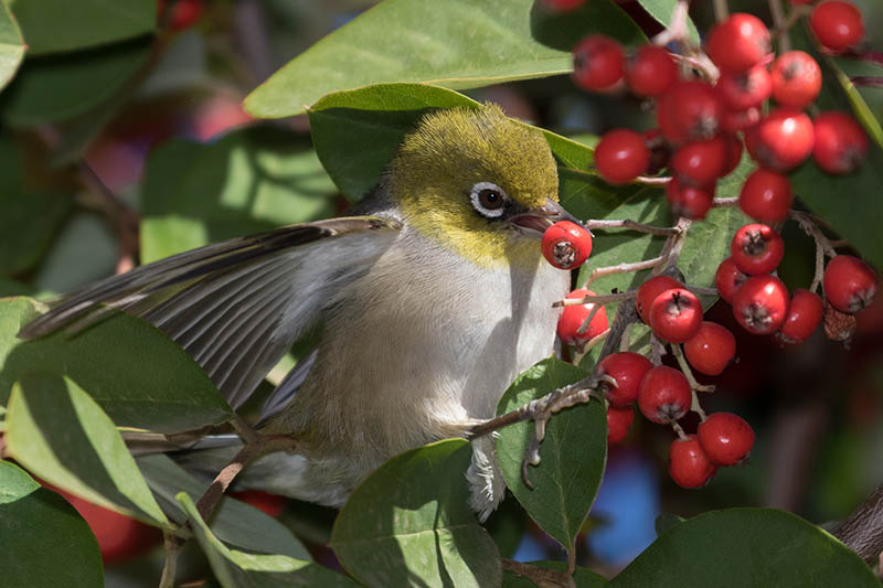 A close up horizontal image of a small bird feeding on bright red berries in the fall garden, pictured on a soft focus background.