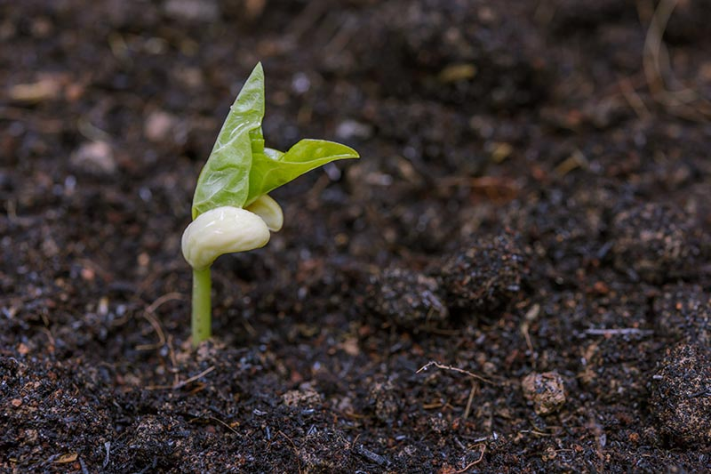A close up horizontal image of a Vigna unguiculata seedling planted in rich, dark soil.