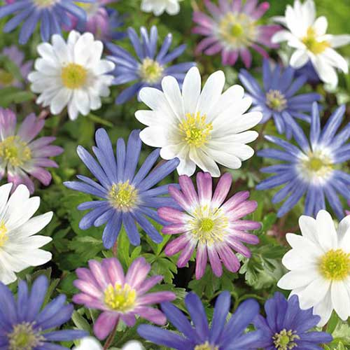 A close up square image of blue, pink, and white Anemone blanda flowers growing in the garden pictured on a soft focus background.