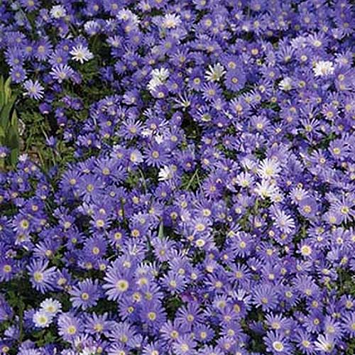 A close up square image of 'Blue Shades' Anemone blanda flowers growing in a mass planting in the garden.