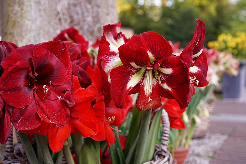 A horizontal image of different varieties of Hippeastrum in full bloom in various shades of red outside a residence, pictured on a soft focus background.