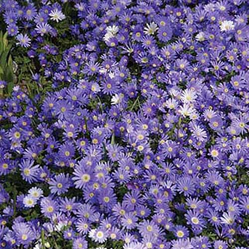 A close up square image of blue A. blanda 'Blue Shades' growing in a mass planting in the garden.