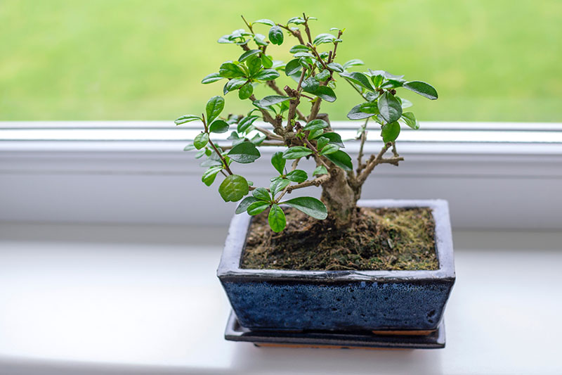 A close up horizontal image of a small bonsai tree in a blue rectangular pot set on a windowsill, pictured on a soft focus background.