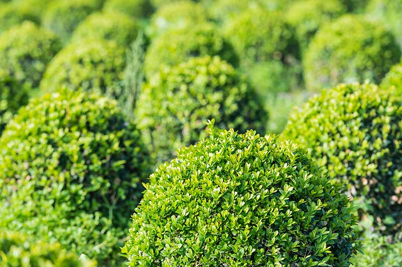 A close up horizontal image of boxwood shrubs growing in the garden pictured in light sunshine on a soft focus background.