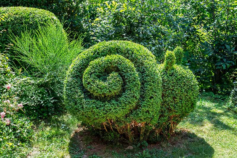 A close up horizontal image of a shrub pruned into the shape of a snail growing in the garden, pictured in light sunshine.