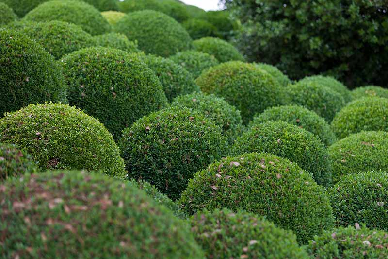 A close up horizontal image of boxwood shrubs growing in the garden, pruned into circular shapes.