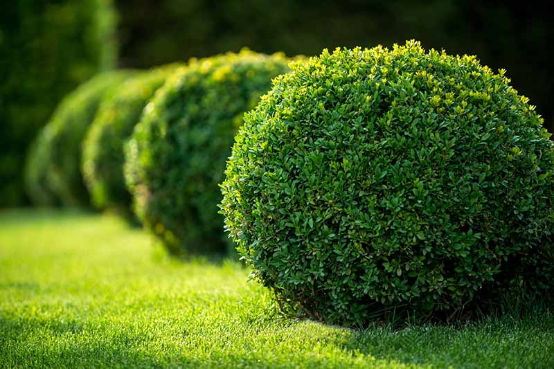 A horizontal image of boxwood shrubs pruned into perfect spheres growing in the garden pictured in light filtered sunshine.