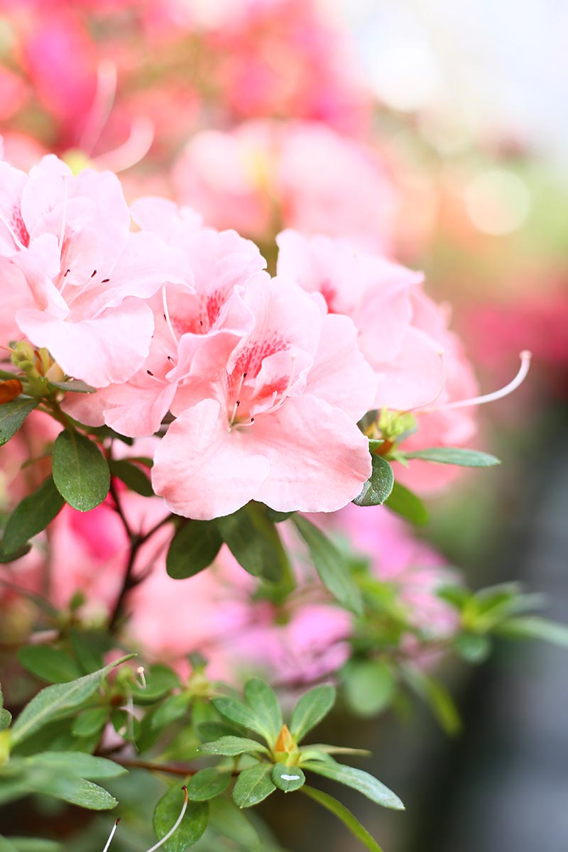 A close up vertical image of a bright pink Rhododendron flower growing in a pot pictured on a soft focus background.