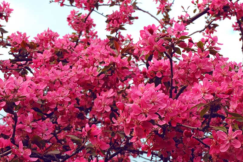 A close up horizontal image of a profusion of bright pink Chaenomeles flowering quince flowers against a blue sky background.