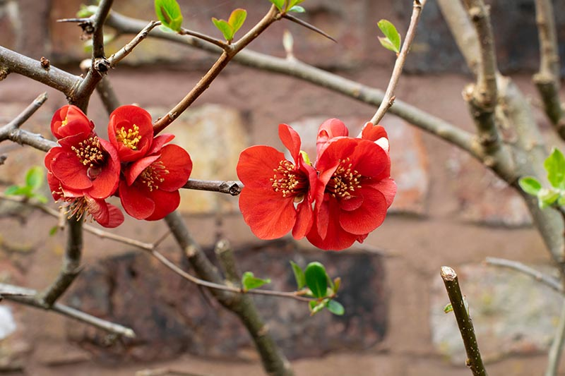 A close up horizontal image of bright red Chaenomeles flowers with a brick wall in soft focus in the background.