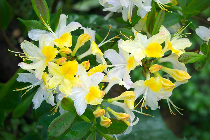 A close up horizontal image of bright yellow and white azalea flowers growing in a container pictured on a soft focus background.