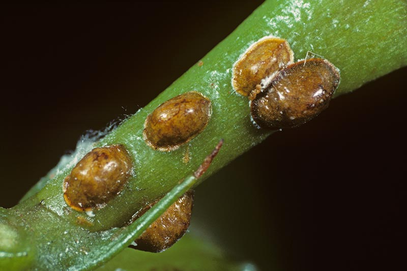 A close up horizontal image of brown scale insects, Parthenolecanium corni, infesting the stem of a plant pictured on a dark background.