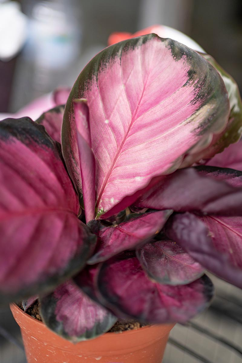 A close up vertical image of a Calathea roseopicta 'Rosy' plant growing in a small pot pictured on a soft focus background.