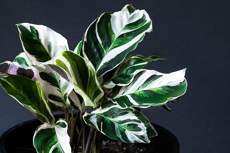 A close up horizontal image of Calathea lietzei 'Fusion White' growing in a small pot pictured on a dark soft focus background.