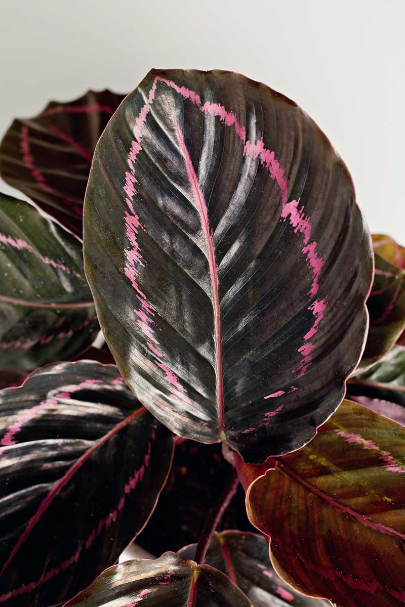 A close up vertical image of the pink and dark green foliage of Goeppertia roseopicta 'Dottie' pictured on a white background.