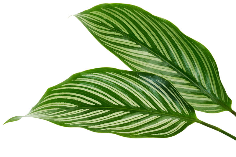 A close up horizontal image of two Goeppertia elliptica leaves pictured on a white background.