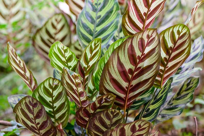 A close up horizontal image of the variegated foliage of Goeppertia makoyana growing in the garden pictured on a soft focus background.
