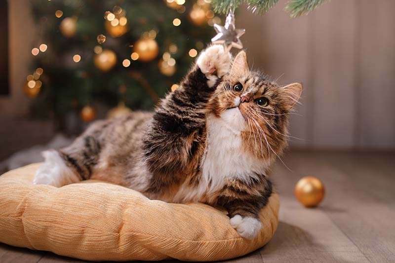A close up horizontal image of a small domestic feline playing with a small holiday ornament.