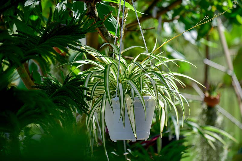 A close up horizontal image of a spider plant growing in a small white, hanging container with other foliage in soft focus in the background.