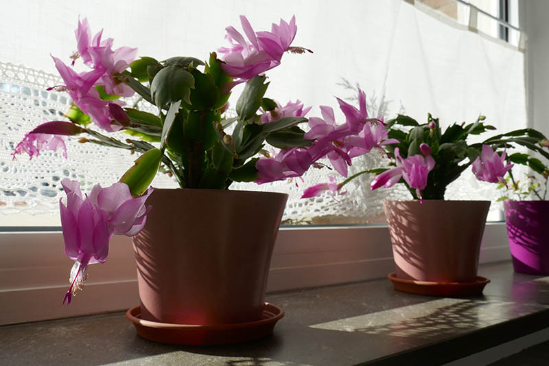 A close up horizontal image of two Christmas cacti growing in pots on a windowsill, with bright pink flowers, pictured in light filtered sunshine.