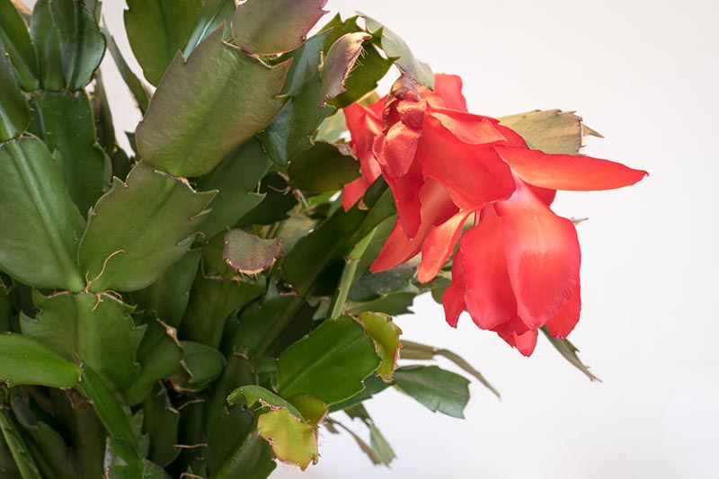 A close up horizontal image of a Christmas cactus plant with bright red flowers and little adventitious roots growing between the cladodes, pictured on a white background.
