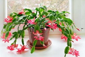 What Is the Best Potting Mix for Christmas Cactus?