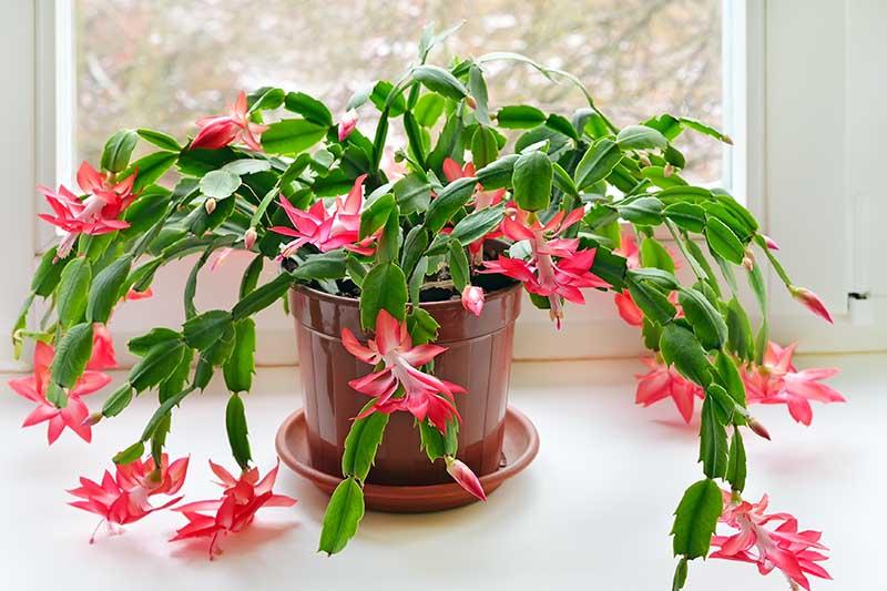 Una imagen horizontal de primer plano de una planta de cactus de Navidad saludable que crece en una maceta de plástico marrón, luciendo flores de color rojo vivo y blanco, en un alféizar soleado.