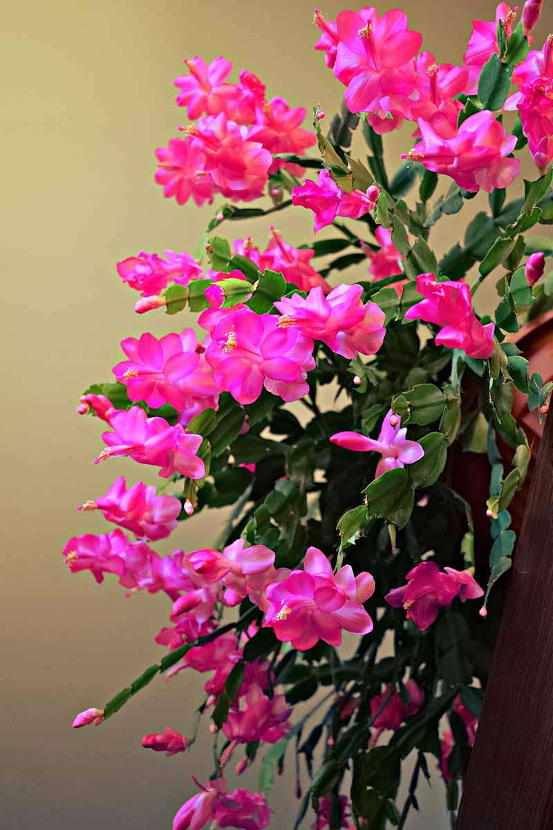 A close up vertical image of a large Schlumbergera plant with bright pink flowers cascading over the side of a pot, pictured on a soft focus background.