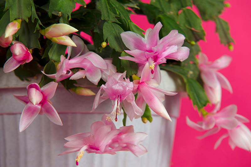 A close up horizontal image of a potted Schlumbergera with bright pink flowers and succulent green stems pictured on a pink background.