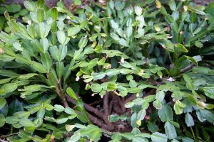What To Do About Woody Stems on Your Christmas Cactus