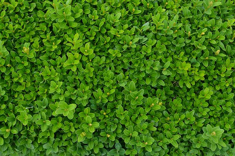 A close up horizontal image of the foliage of a boxwood shrub growing in the garden.