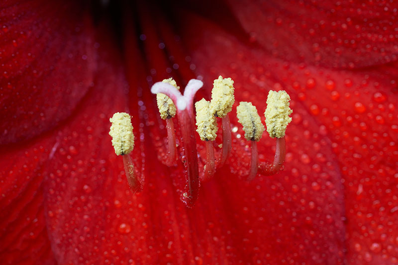A close up macro image of the inside of a Hippeastrum flower, showing the pollen on the anthers and the stamen in the center..