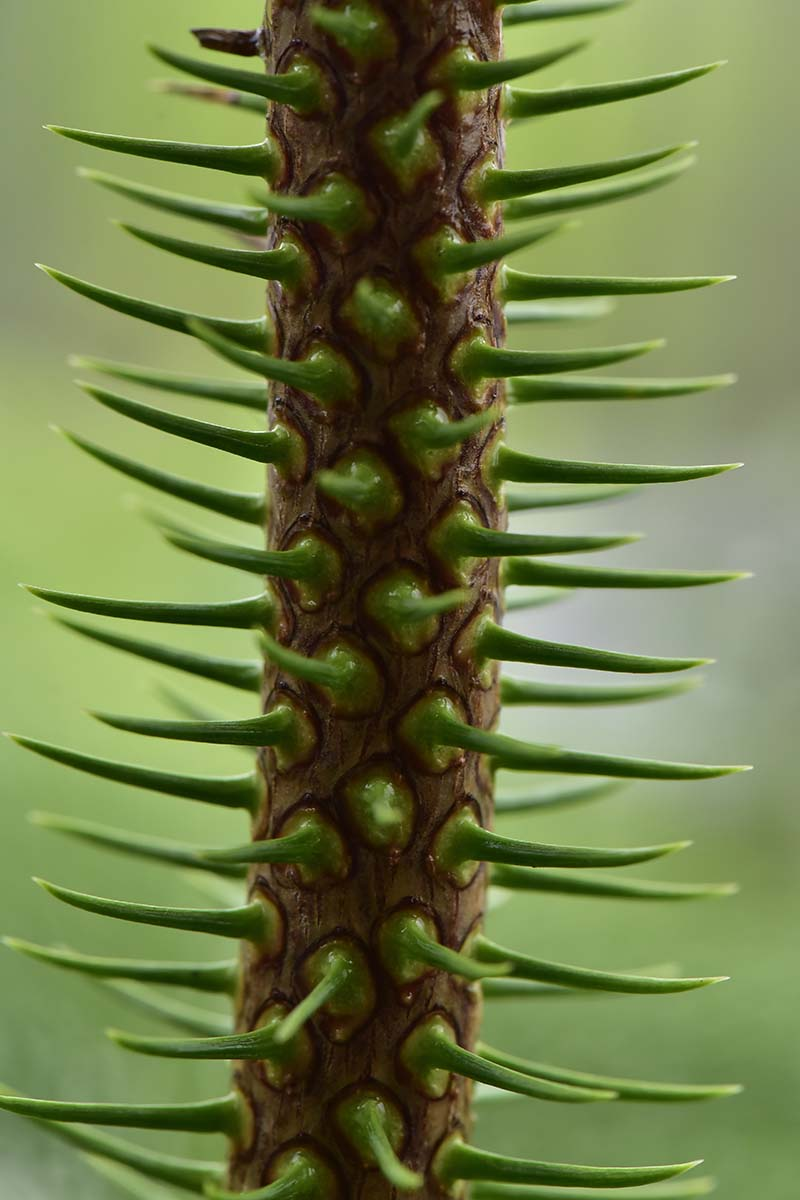A close up vertical image of the stems of a Araucaria heterophylla tree with short, green spines, pictured on a soft focus background.