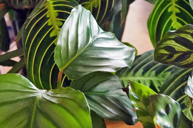 A close up horizontal image of the variegated, patterned leaves of prayer plants, pictured on a soft focus background.
