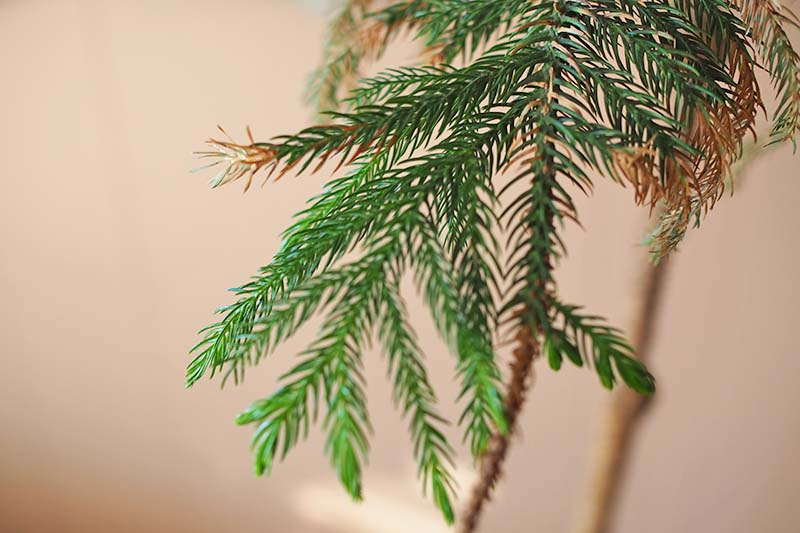 A close up horizontal image of a Norfolk Island pine branch with leaves that are turning brown, pictured on a soft focus background.