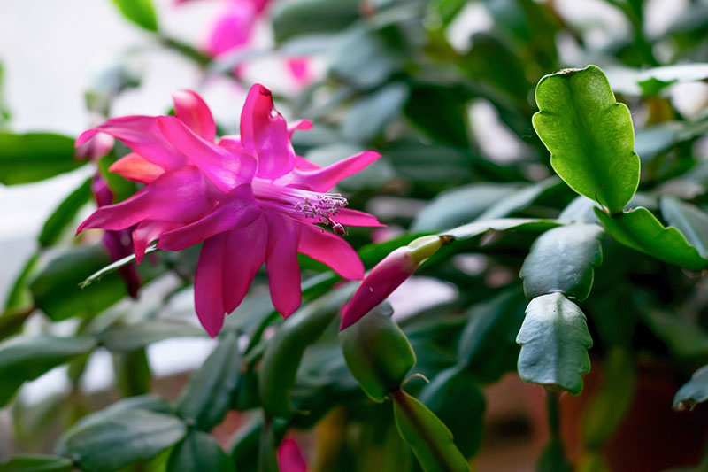 A close up horizontal image of a bright pink Christmas cactus flower, with foliage in soft focus in the background.