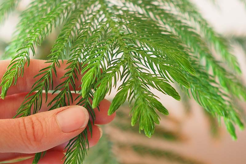 A close up horizontal image of a hand from the left of the frame holding the leaves of a juvenile Araucaria heterophylla plant pictured on a soft focus background.