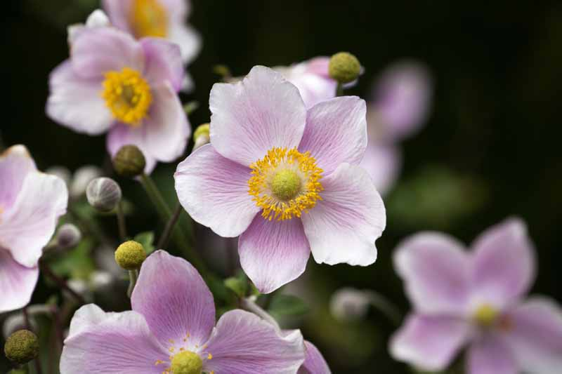 A close up horizontal image of light pink Japanese anemone flowers pictured on a soft focus background.