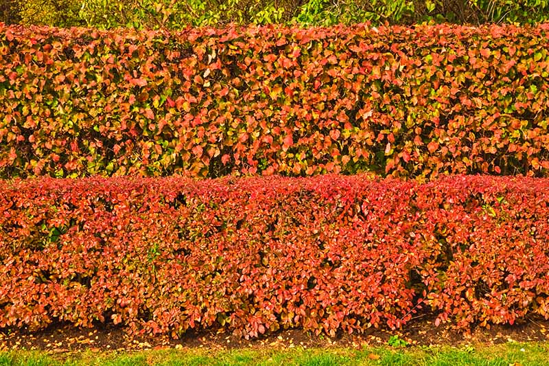 A horizontal image of large hedge of cotoneaster with bright, vivid fall colors pictured in light sunshine.