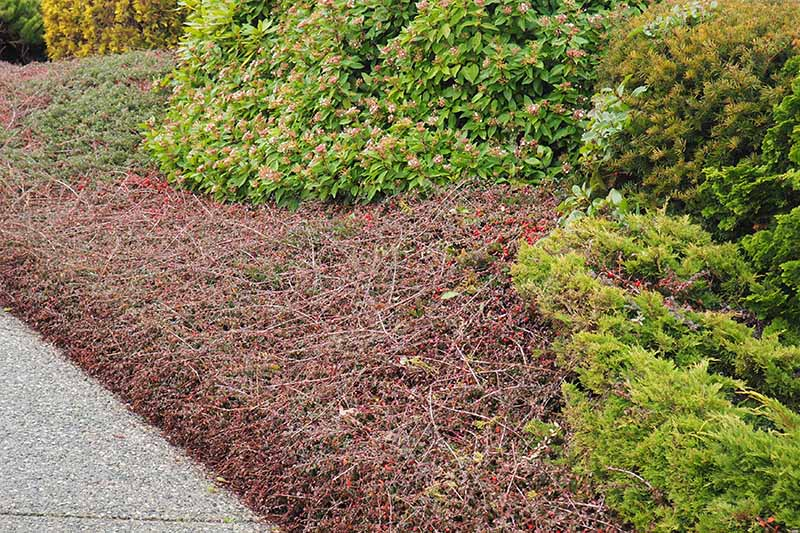 A close up horizontal image of cotoneaster growing as a groundcover as part of a shrubscape, next to a concrete path.