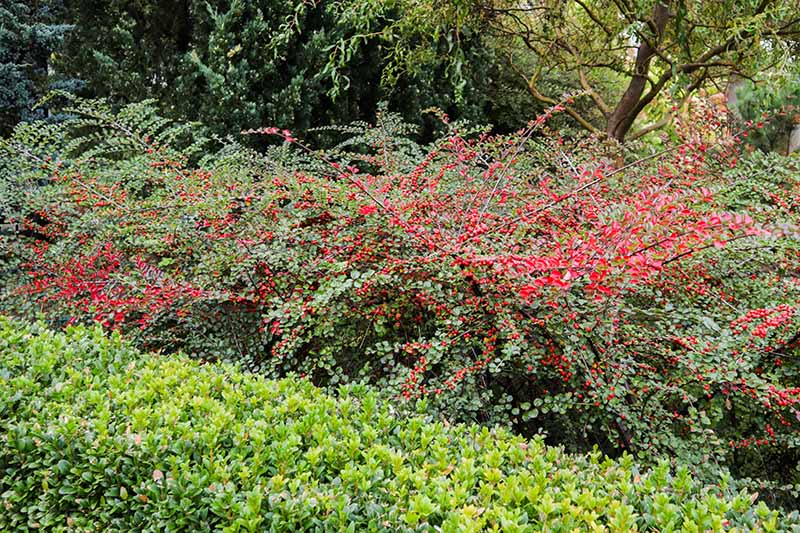 A horizontal image of a large cotoneaster shrub laden with bright red berries growing in a mixed perennial border, with trees in soft focus in the background.