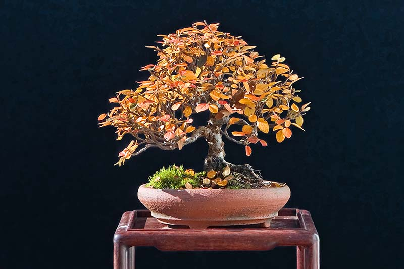 A close up horizontal image of a small cotoneaster plant trained as a bonsai, growing in a small ceramic pot, pictured on a dark background.