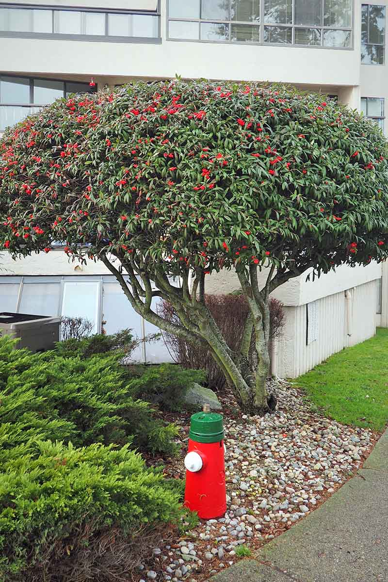 A vertical image of a cotoneaster shrub growing outside an office block that has been pruned into a standard, surrounded by low growing shrubs and ornamental mulch.
