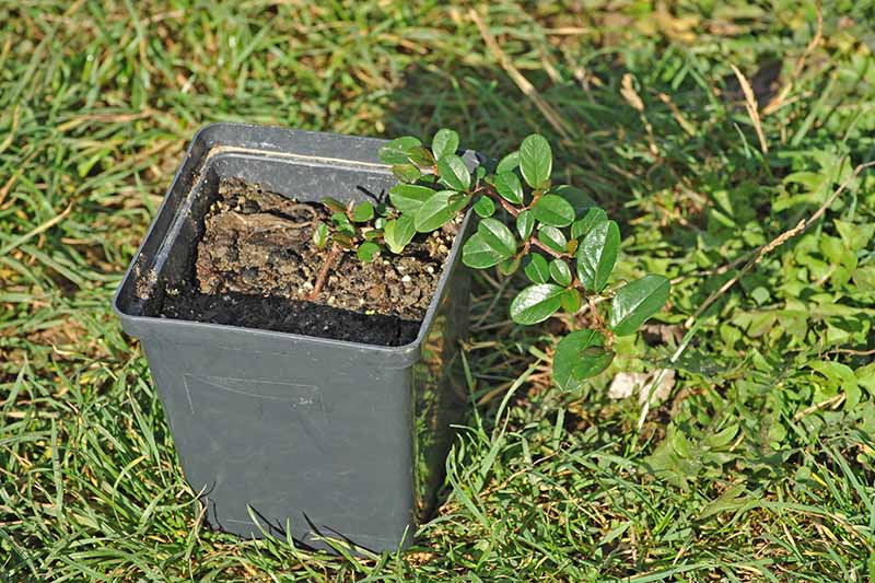 A close up horizontal image of a small black pot containing a seedling that's ready to be transplanted into the garden, set on a lawn, pictured in light sunshine.