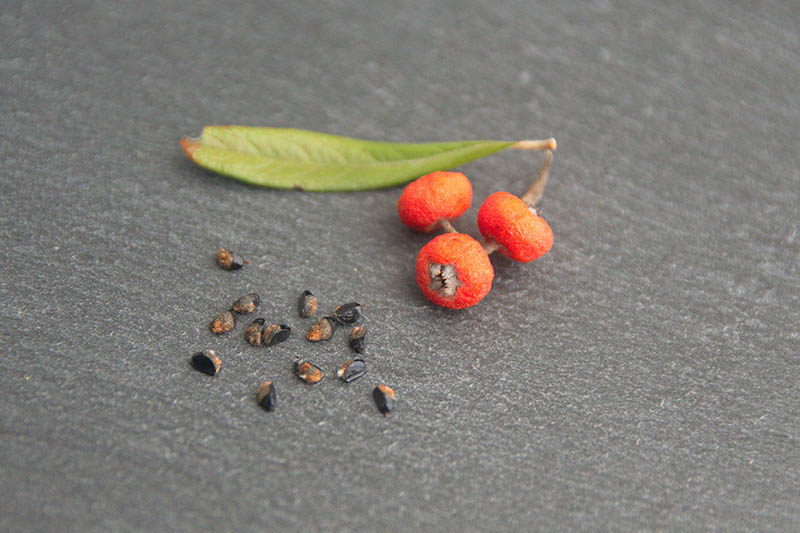 A close up horizontal image of three bright red berries next to a few seeds, set on a dark gray surface.