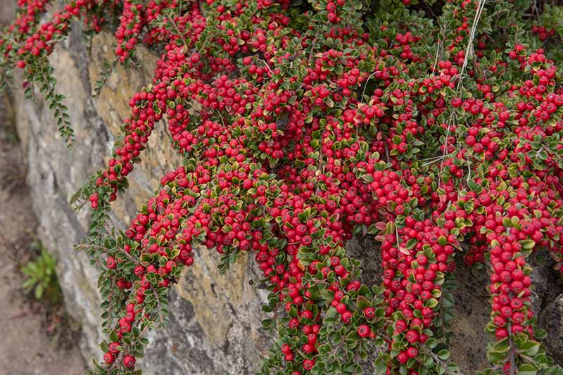 A close up horizontal image of a creeping groundcover plant covered in bright red berries spilling over the side of a low stone wall.