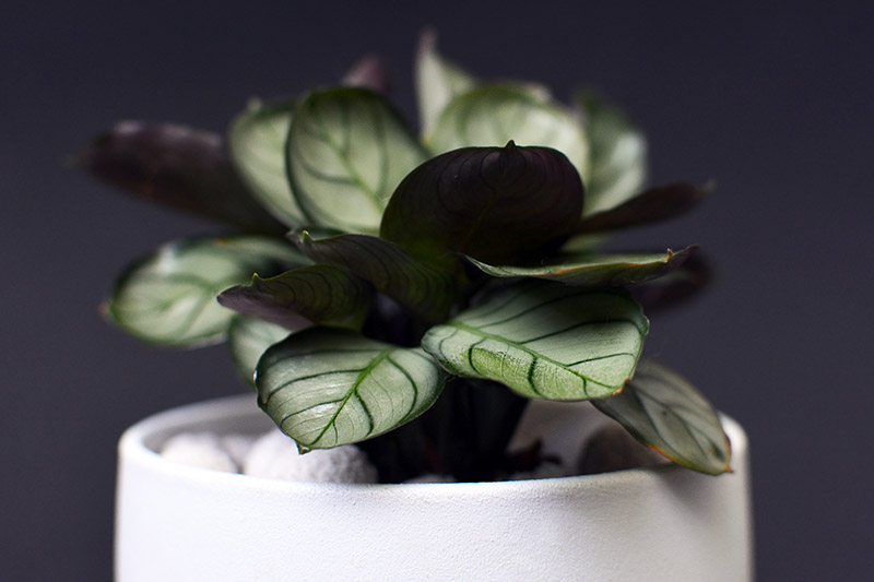 A close up horizontal image of Ctenanthe burle marxii 'Amagris' growing in a small white pot pictured on a dark soft focus background.